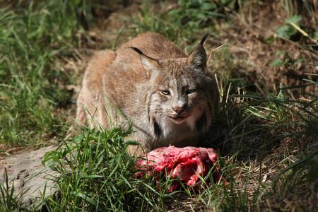 lince: Lince canadiense (Lynx canadensis canadensis) de comer carne. Vida animal salvaje.