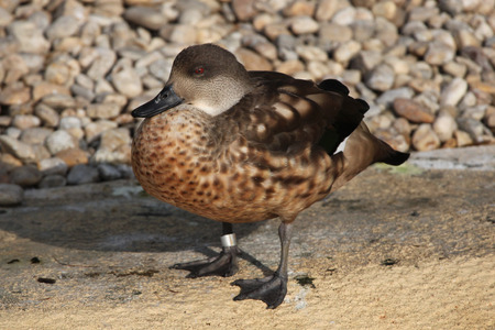 crested duck: Crested duck (Lophonetta specularioides). Wild life animal.