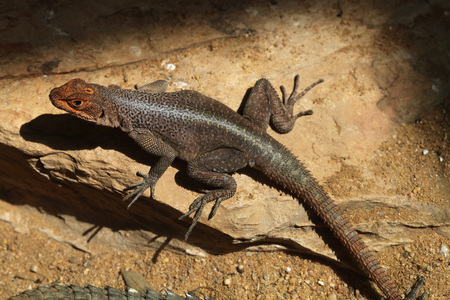 swift: Grandidier Madagascar swift (Oplurus grandidieri). Wild life animal.