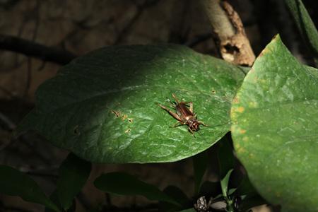 insecta: House cricket (Acheta domestica). Wild life animal. Stock Photo