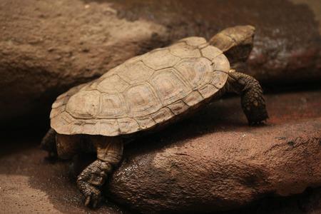 reptilia: Pancake tortoise (Malacochersus tornieri). Wild life animal.