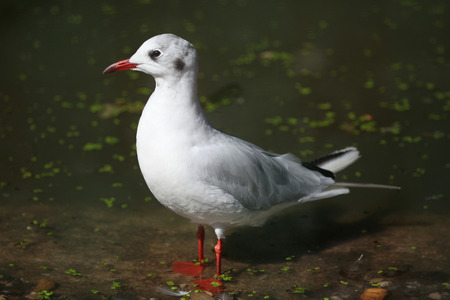 chroicocephalus: Black-headed gull (Chroicocephalus ridibundus) in winter plumage. Wild life animal.