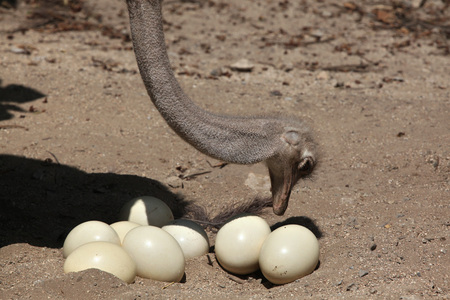 struthio camelus: Ostrich (Struthio camelus) inspects its eggs in the nest. Wild life animal.