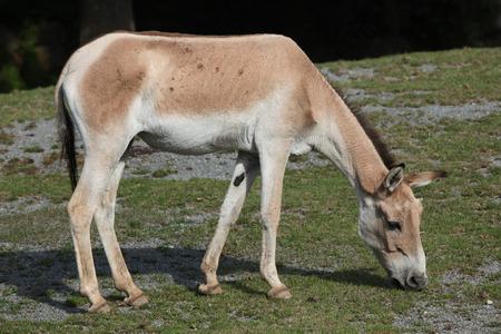 asno: Kulan Turkmenian (Equus hemionus kulan), tambi�n conocido como el culo salvaje transcaspiano. Vida animal salvaje.
