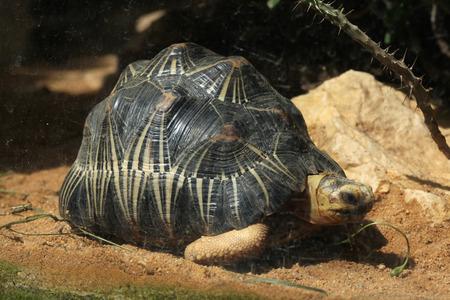 radiata: Radiated tortoise Astrochelys radiata. Wild life animal.