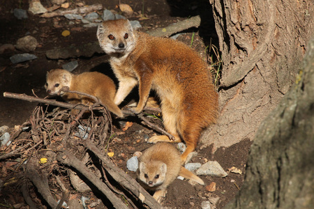 herpestidae: Yellow mongoose (Cynictis penicillata) with babies. Wild life animal. Stock Photo
