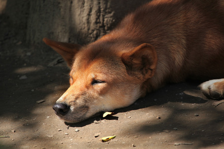 canid: Dingo (Canis lupus dingo). Wild life animal. Stock Photo