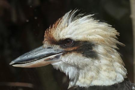 coraciiformes: Laughing kookaburra (Dacelo novaeguineae). Wild life animal. Stock Photo