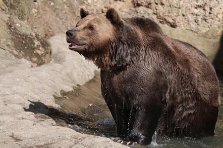 arctos: Brown bear (Ursus arctos) after swimming. Wild life animal.