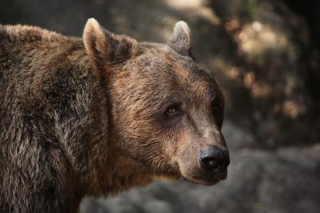 브라운 베어 Ursus arctos. 야생의 삶의 동물.