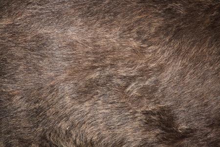 arctos: Brown bear (Ursus arctos) fur texture. Wild life animal.
