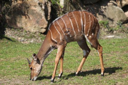 lowland: Lowland nyala (Tragelaphus angasii). Wild life animal.