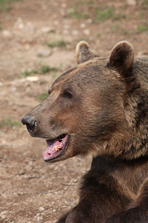 arctos: Brown bear (Ursus arctos). Wild life animal.