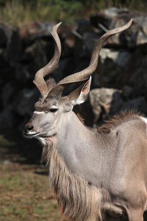 greater: Greater kudu (Tragelaphus strepsiceros). Wild life animal. Stock Photo