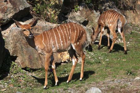 savannas: Lowland nyala (Tragelaphus angasii). Wild life animal.