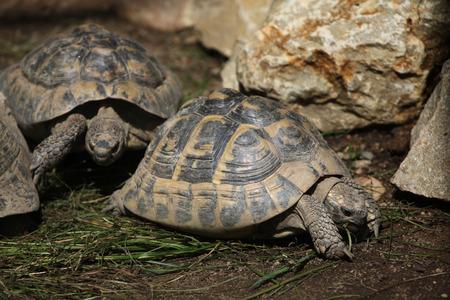 reptilia: Eastern Hermann tortoise (Testudo hermanni boettgeri). Wild life animal.