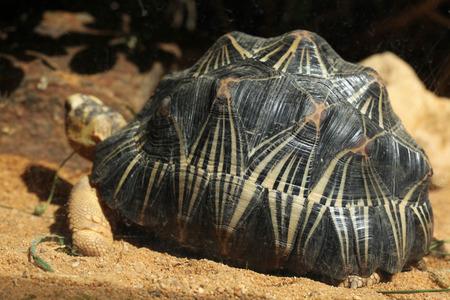 radiated: Radiated tortoise (Astrochelys radiata). Wild life animal.