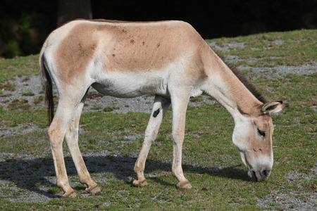 ass donkey: Turkmenian kulan (Equus hemionus kulan), also known as the Transcaspian wild ass. Wild life animal. Stock Photo