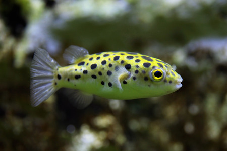 pufferfish: Green spotted puffer (Tetraodon nigroviridis). Wild life animal.