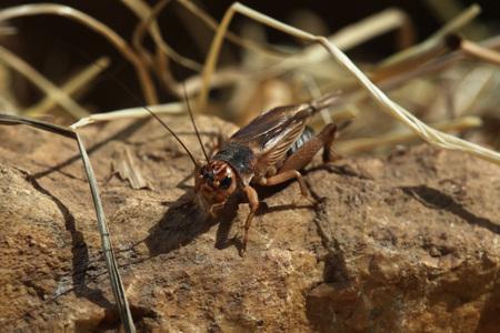 cricket insect: House cricket (Acheta domestica). Wild life animal. Stock Photo