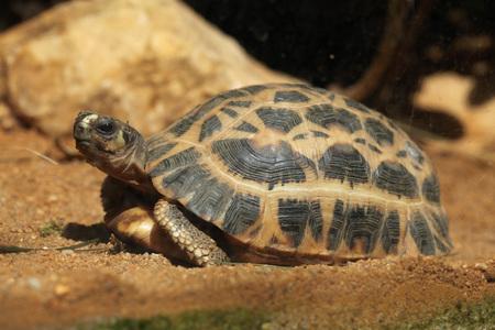 reptilia: Common spider tortoise (Pyxis arachnoides arachnoides). Wild life animal. Stock Photo