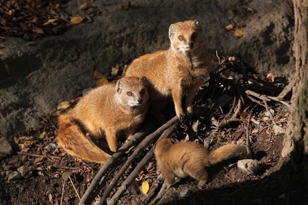 herpestidae: Yellow mongoose (Cynictis penicillata) with a baby. Wild life animal.