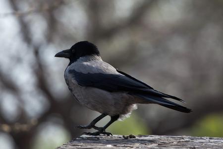corvus: Hooded crow (Corvus cornix). Wild life animal. Stock Photo