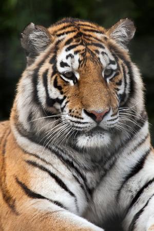 panthera tigris: Siberian tiger (Panthera tigris altaica), also known as the Amur tiger. Wild life animal.