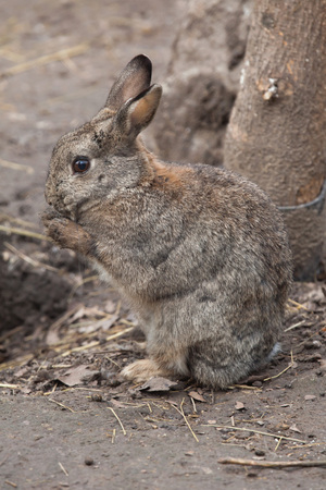 oryctolagus cuniculus: European rabbit (Oryctolagus cuniculus), also known as the common rabbit. Wild life animal. Stock Photo