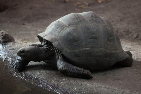 TORTOISE: Aldabra giant tortoise (Aldabrachelys gigantea). Wild life animal.