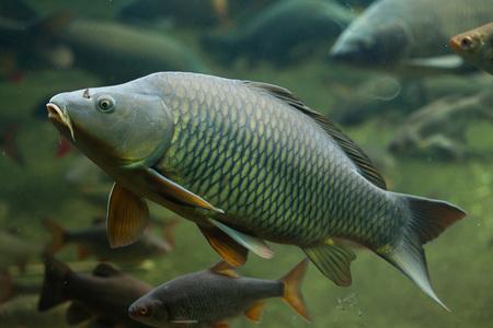 cypriniformes: Wild common carp (Cyprinus carpio). Wild life animal.