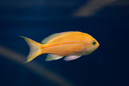 perciformes: Sea goldie (Pseudanthias squamipinnis), also known as the lyretail anthias. Wild life animal. Stock Photo