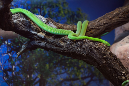 Western green mamba (Dendroaspis viridis), also known as the West African green mamba. Wild life animal.