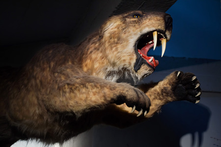 Saber-toothed tiger (Smilodon populator) displayed as a life size model. Prehistoric animal.