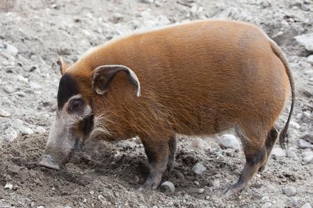 bush hog: Red river hog (Potamochoerus porcus), also known as the bush pig. Wild life animal. Stock Photo