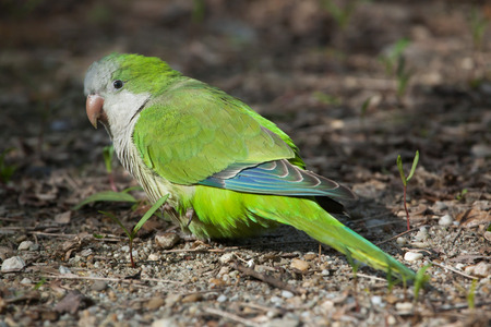 quaker: Monk parakeet (Myiopsitta monachus), also known as the quaker parrot. Wild life animal. Stock Photo