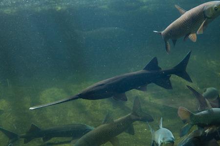 actinopterygii: American paddlefish (Polyodon spathula). Wild life animal.
