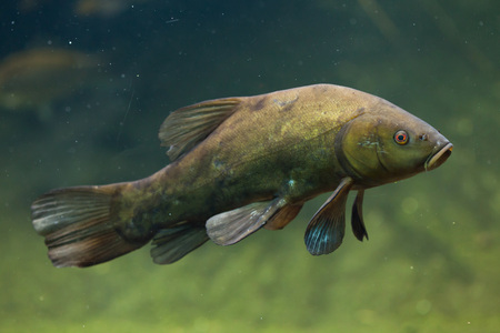 tinca tinca: Tench (Tinca tinca), also known as the doctor fish. Wild life animal. Stock Photo