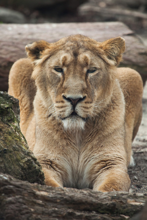 leo: Female Asiatic lion (Panthera leo persica), also known as the Indian lion. Wild life animal.