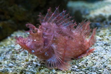 scorpionfish: Weedy scorpionfish (Rhinopias frondosa), also known as the popeyed scorpionfish. Wild life animal. Stock Photo