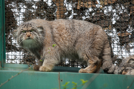 Pallas cat otocolobus manul also known as the manul stock photo pallas cat otocolobus manul also known as the manul wild life animal publicscrutiny Images
