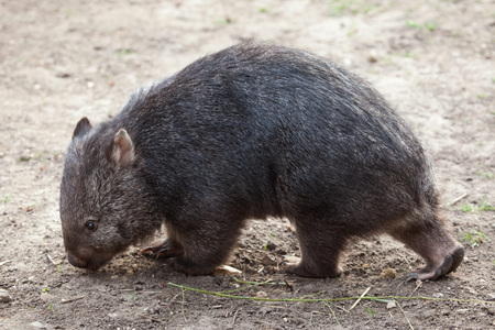 wombat: Common wombat (Vombatus ursinus). Wild life animal. Foto de archivo