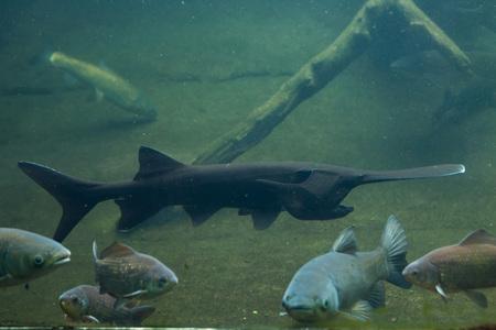 missouri wildlife: American paddlefish (Polyodon spathula). Wild life animal.