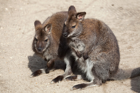 bennett: Red-necked wallaby (Macropus rufogriseus), also known as the Bennett wallaby. Wild life animal.