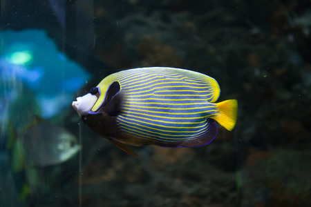 pomacanthus imperator: Emperor angelfish (Pomacanthus imperator). Wild life animal. Stock Photo