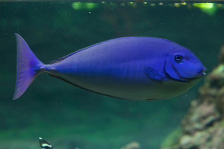 blue fish: Blue tropical fish. Wild life animal.