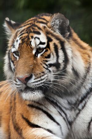 felid: Siberian tiger (Panthera tigris altaica), also known as the Amur tiger. Wild life animal.