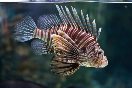 common lionfish: Red lionfish (Pterois volitans). Wild life animal.