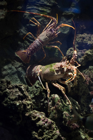 marine crustaceans: Common spiny lobster (Palinurus elephas), also known as the Mediterranean lobster. Wild life animal. Stock Photo