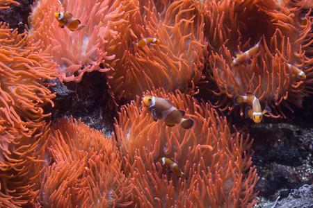 pez payaso: Ocellaris pez payaso (Amphipn ocellaris) nadando en la magn�fica an�mona de mar (Heteractis magnifica). animales de la vida silvestre.